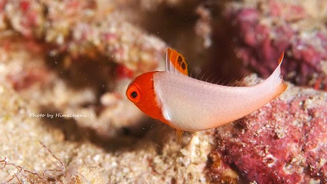イロブダイ幼魚♪