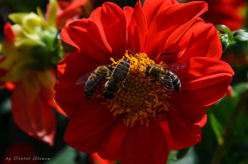 flowers bees summer dahlias nature