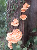 Chicken of the Woods (Sulphur Polypore)
