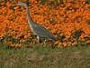 Grey Heron near Alkmaar, Holland - August 2016