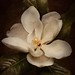 Southern Magnolia Bloom by Chason Photos