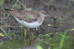 animal, perching bird, nature, fauna, red backed sandpiper, redshank, calidrid, sandpiper, beak, bird, wildlife,