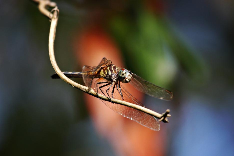 072612_04_zbug_dragonfly02