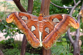 "Atlas moth ""Attacus Atlas""  Polilla Atlas."