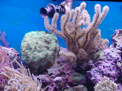 coral reef, animal, coral, organism, marine biology, invertebrate, stony coral, aquarium lighting, cnidaria, underwater, reef, sea anemone,