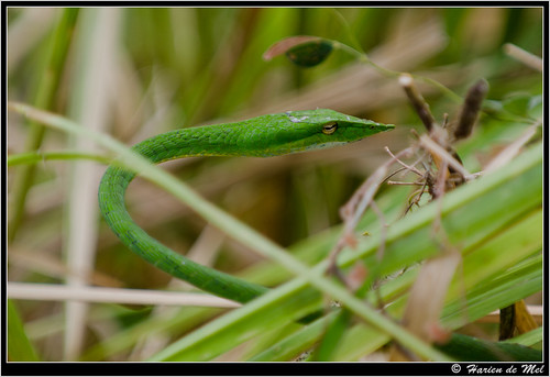 Green Vine Snake Eating Green Vine Snake