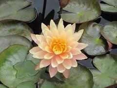 'Mangkala Ubol'  Water Lily