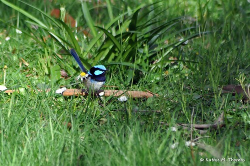Male Superior Fairy-wren
