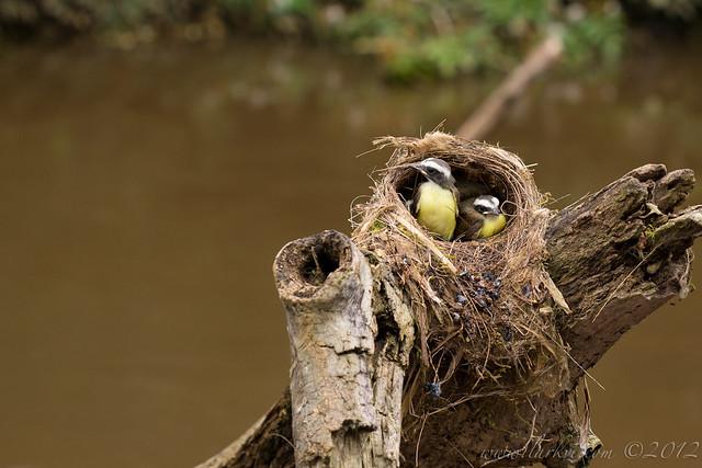Social Flycatcher (Myiozetetes similis) Chicks in Nest #2, Rio Frio, Costa Rica, 2012