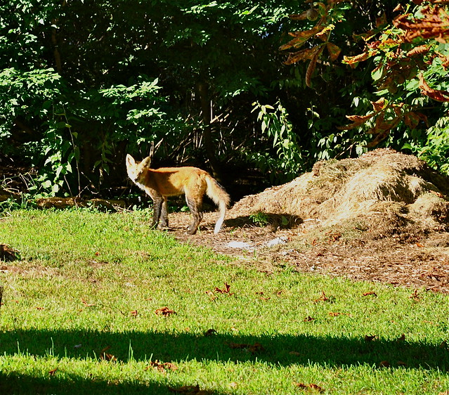 Red Fox in my Backyard | Flickr - Photo Sharing!