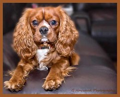 dog breed, animal, dog, pet, king charles spaniel, spaniel, cavalier king charles spaniel, american cocker spaniel, carnivoran,