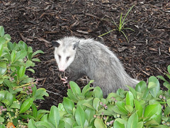 raccoon(0.0), viverridae(0.0), procyonidae(0.0), animal(1.0), opossum(1.0), virginia opossum(1.0), common opossum(1.0), mammal(1.0), fauna(1.0), wildlife(1.0),