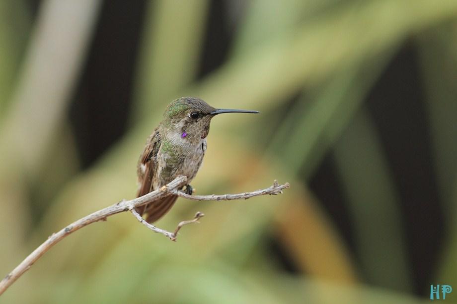 Costa's X Anna's Hummingbird 090312