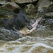 Black Bear with Pink Salmon catch 1CGS0686
