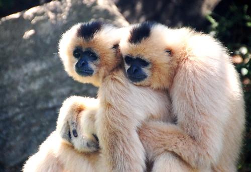 zoo cincinnatizoo primates duo hugging nature thegalaxy specanimal allofnatureswildlifelevel1 allofnatureswildlifelevel2 allofnatureswildlifelevel3 allofnatureswildlifelevel4 allofnatureswildlifelevel5 allofnatureswildlifelevel6 jennypansing czbg