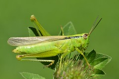Mecostethus parapleurus female