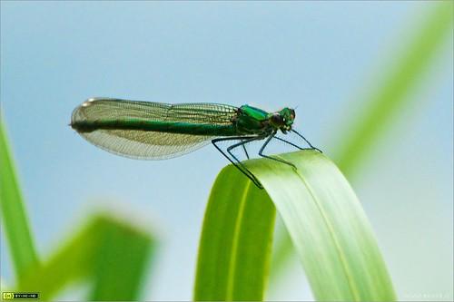 ireland macro insect filter damselfly circularpolarizer kildare kilcock bandeddemoisellecalopteryxsplendens