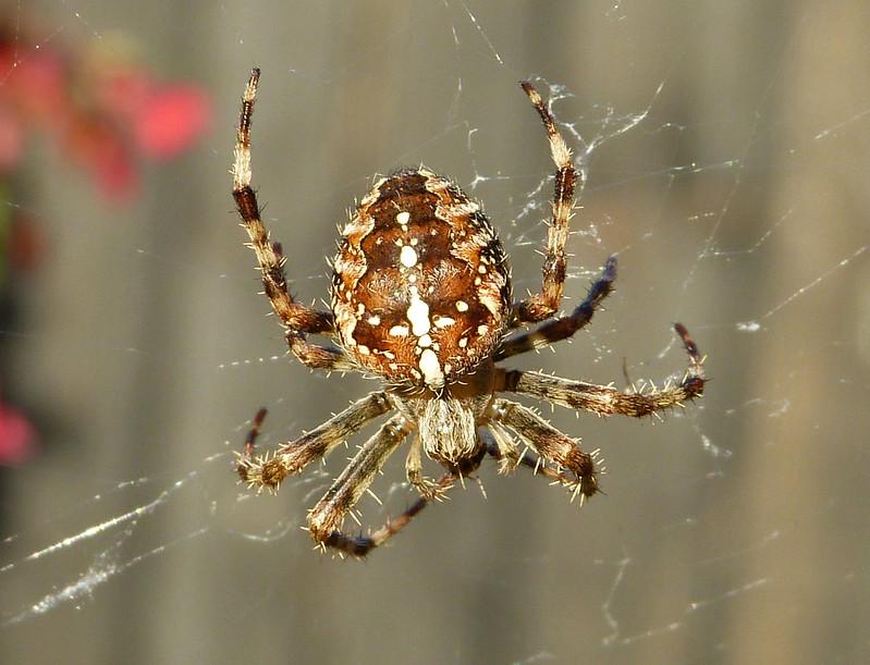 Garden Spider, Kent