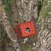 Forest Dormouse in box (Sandor)