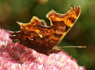 Comma Butterfly. polygonia c-album