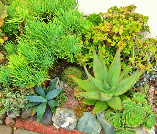 Senecio vitalis on left Aloe striata (i think) on right