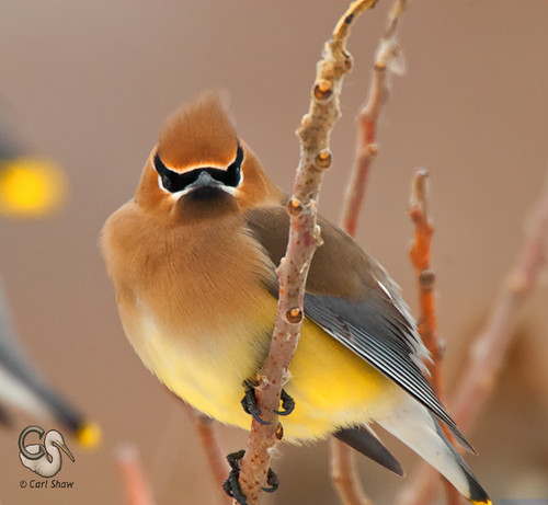 cedarwaxwing nikond200 capemaypointnj endlessreach1 carlsshaw carlshawphotography