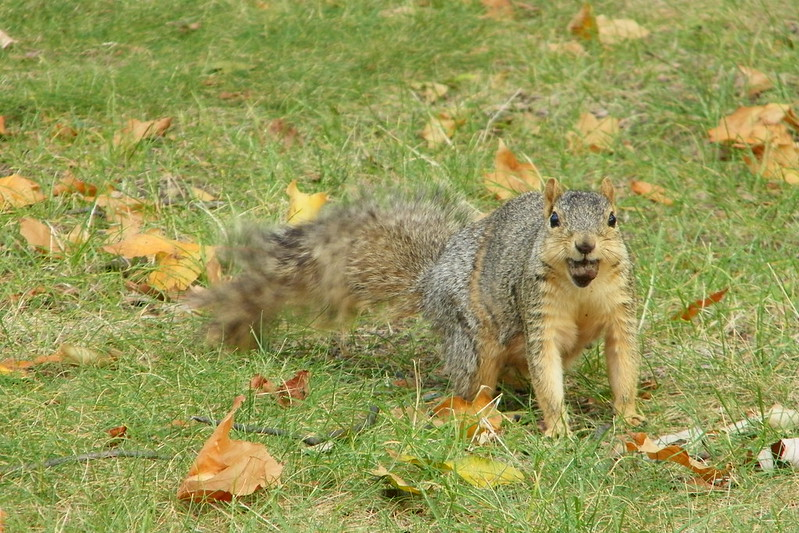 Squirrels at Central Michigan University (Mt. Pleasant, Michigan)