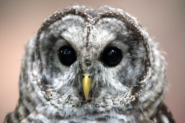 J77A7945 -- Face of a Barred Owl