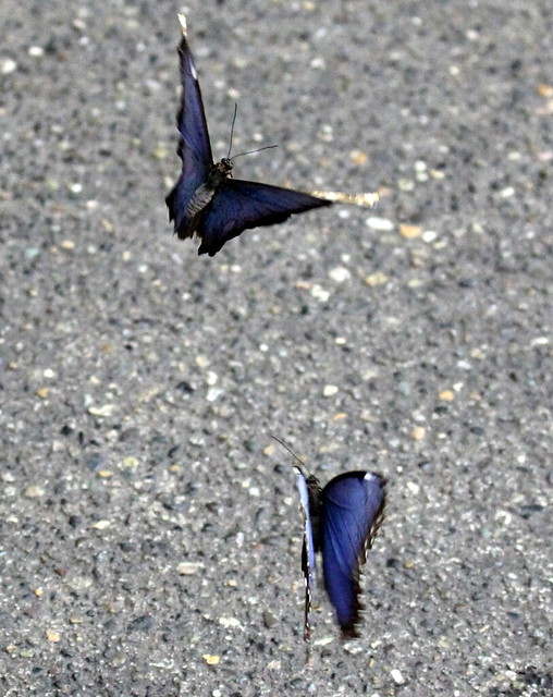 Pair of pale blue/black butterflies in flight together - Pacific Science Center, Seattle
