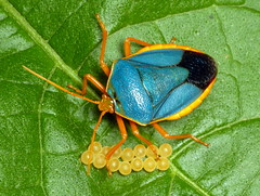 True Bugs of Ecuador
