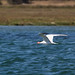 <p>Couldn&acute;t tell what type of fish it caught but this tern was successful and headed to find a place to eat its large catch.</p>