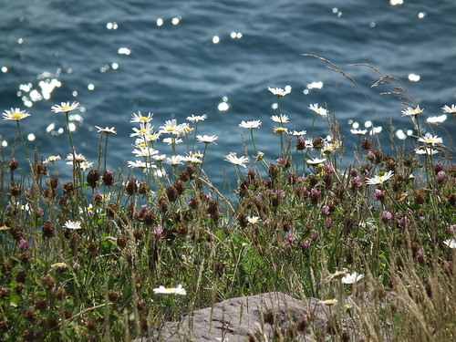 Daisies and the Sea III (St. John's Newfoundland. 2012)