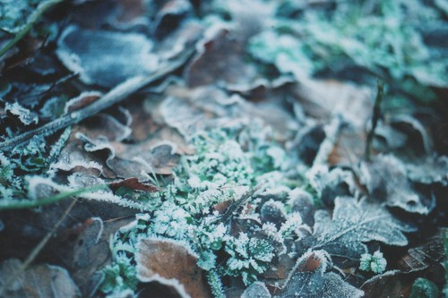 Frosty leaves.