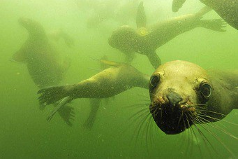 Diving with sea lions in Peru with Nature Expeditions (2)