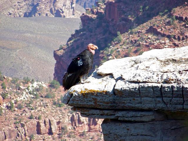 a description of the california condor the largest bird in north america Condors on pinterest | see more ideas about california condor, birds of prey  and birds  the largest north american land bird this condor california.