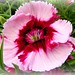 Dianthus Beauty
