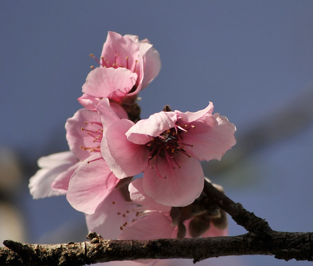 Happy Weekend with Peach Blossom!