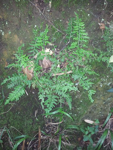 possible Guernsey Spleenwort
