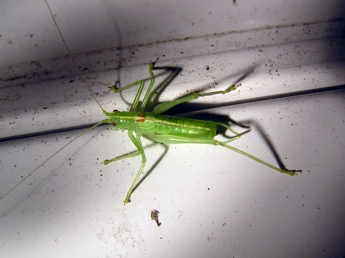 Meconema thalassinum - Méconème tambourinaire - Oak bush-cricket - 22/08/12