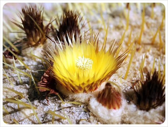 tucson cactus flower
