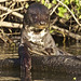 Giant River Otter (Dani Free)