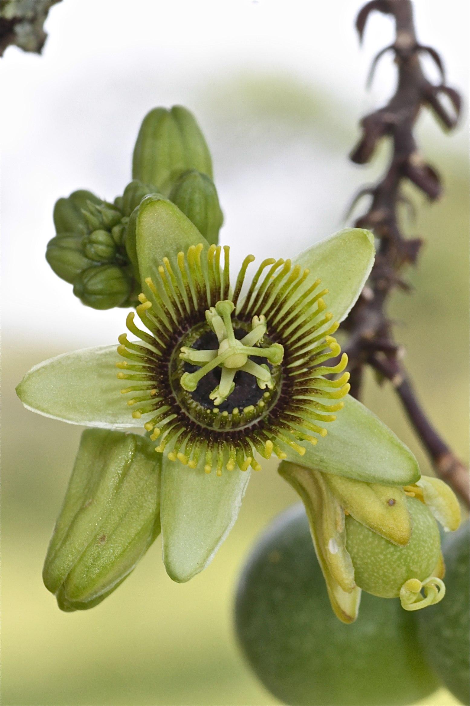 Passiflora coriacea (Passifloraceae)