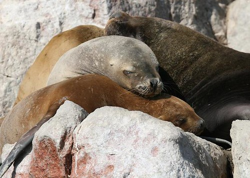 Southamerican sea lion - Sea kayaking with Nature Expeditions in Peru