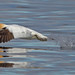 gannet take off and reflection by www.willdawesphotography.co.uk
