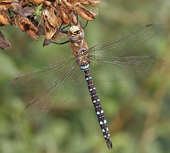 Male Migrant Hawker - aeshna mixta