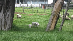 farm, fence, grass, sheeps, sheep, mammal, goats, grazing, domestic goat, herding, pasture,
