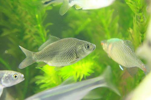 BF42鯉魚