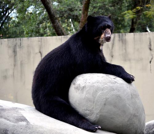 Urso-de-óculos - 無料写真検索fotoq