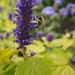 Small photo of Bee on Golden Agastache