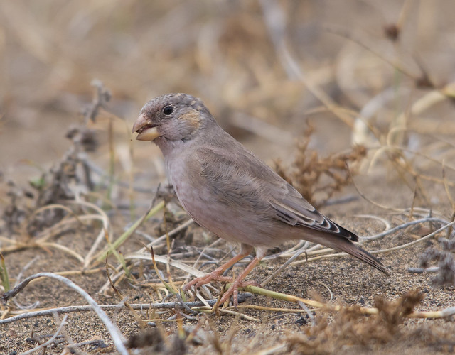 trumpter finch with seed 4